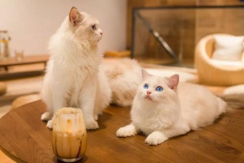 珠海猫主题咖啡馆瞄一喵猫咖怎么加盟?2020年加盟政策是怎样的?